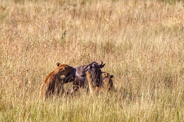 TANZANIA (29b) - AFRICA  - Lions - François Scheffen Photography