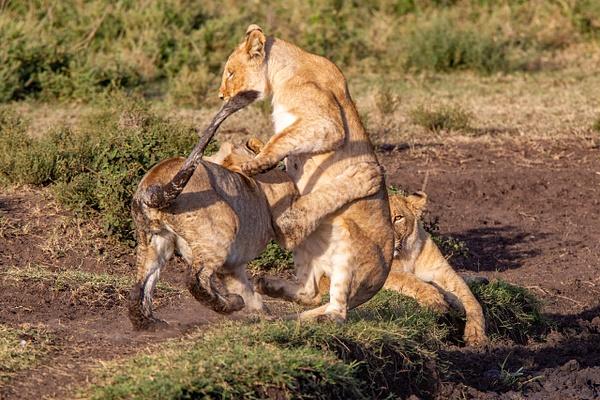 TANZANIA (9a) - AFRICA  - Lions - François Scheffen Photography