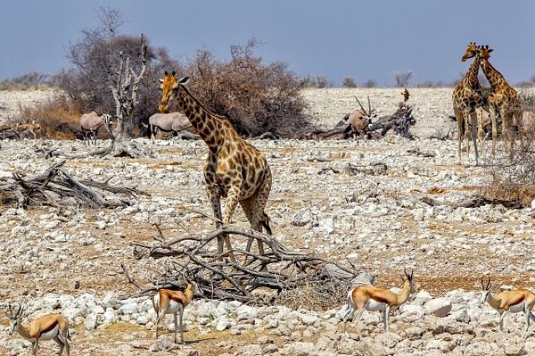 5. Etosha Pan (5) - NAMIBIA - François Scheffen Photography
