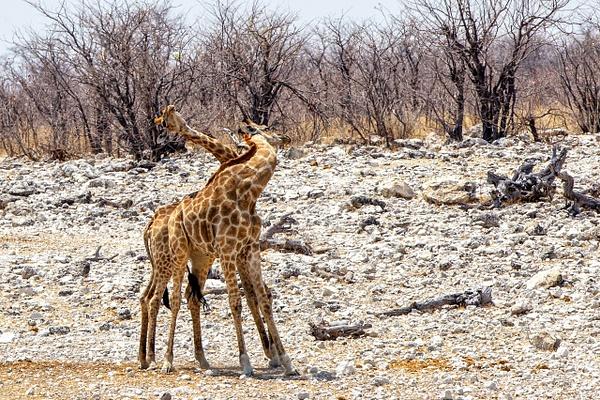 5. Etosha Pan (13) - NAMIBIA - François Scheffen Photography