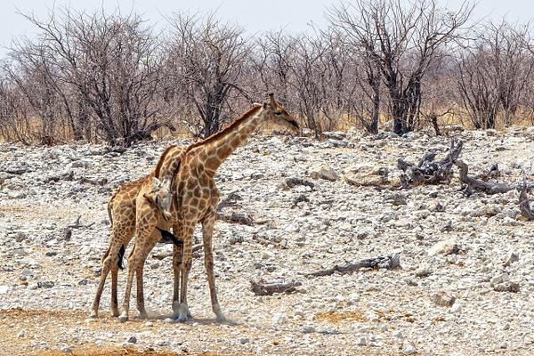 5. Etosha Pan (12) - NAMIBIA - François Scheffen Photography