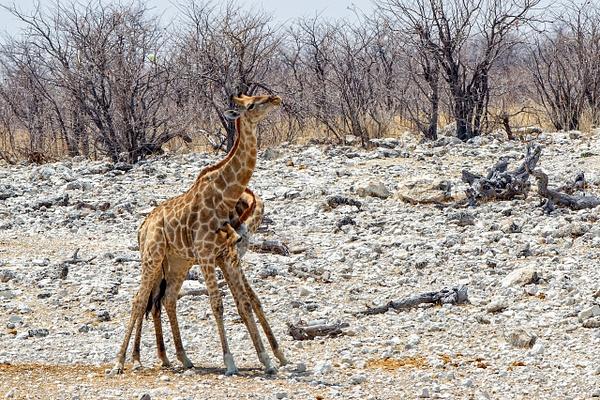 5. Etosha Pan (14) - NAMIBIA - François Scheffen Photography