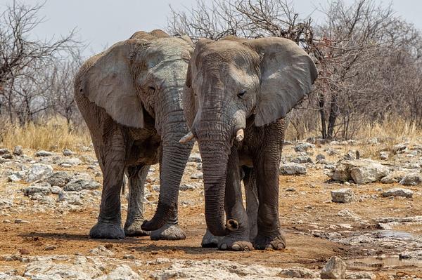 5. Etosha Pan (22) - NAMIBIA - François Scheffen Photography