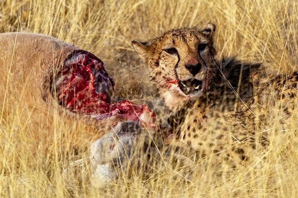 6. Okonjima (2) - NAMIBIA - François Scheffen Photography