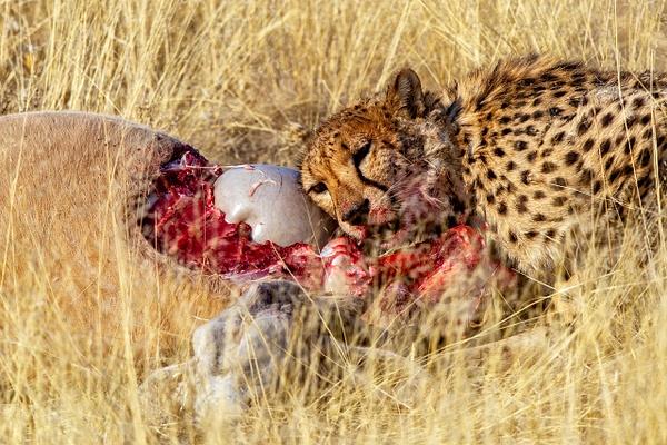 6. Okonjima (4) - NAMIBIA - François Scheffen Photography