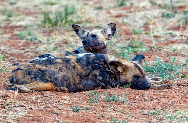 6. Okonjima (6) - NAMIBIA - François Scheffen Photography