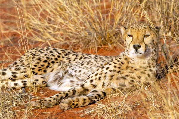 6. Okonjima (7) - NAMIBIA - François Scheffen Photography
