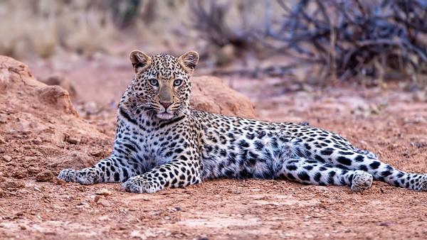6. Okonjima (8) - NAMIBIA - François Scheffen Photography