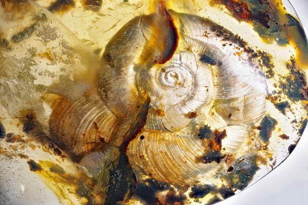 BU176 snail - Burmese Amber - Burmite l.a. - François Scheffen Photography