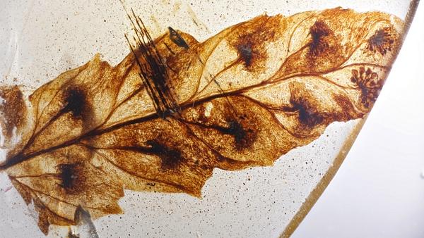 BU160b fern w. spores - Burmese Amber - Burmite l.a. - François Scheffen Photography