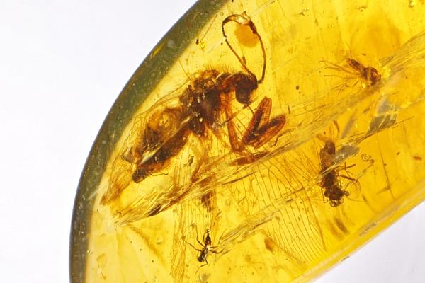 BU100 diptero mantispidae - Burmese Amber - Burmite l.a. - François Scheffen Photography