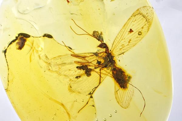 BU101 mantispidae - Burmese Amber - Burmite l.a. - François Scheffen Photography