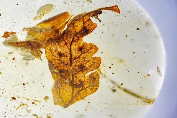 BU139 fern w. spores - Burmese Amber - Burmite l.a. - François Scheffen Photography