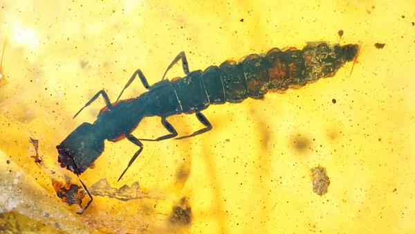 BU194 larva raphidioptera - Burmese Amber - Burmite l.a. - François Scheffen Photography