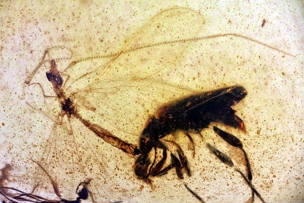 BU153 osmylidae - Burmese Amber - Burmite l.a. - François Scheffen Photography
