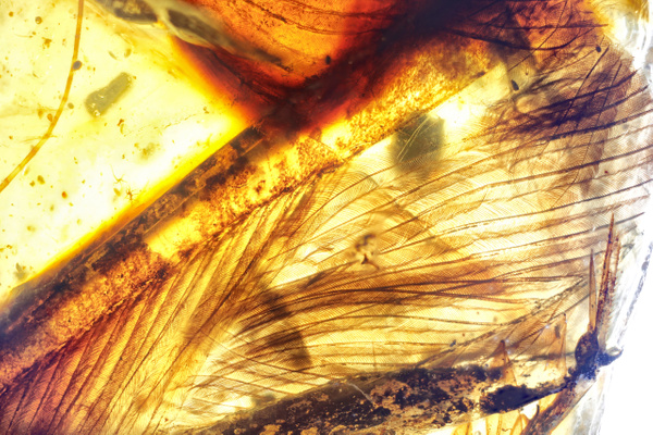 BU315 feather - Burmese Amber - Burmite l.a. - François Scheffen Photography