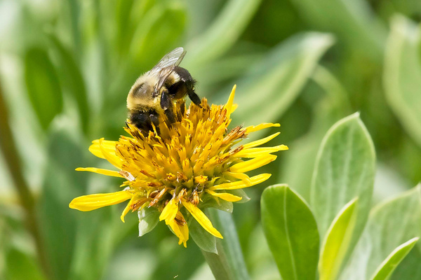Bumble Bee - Nature - Phil Mason Photography