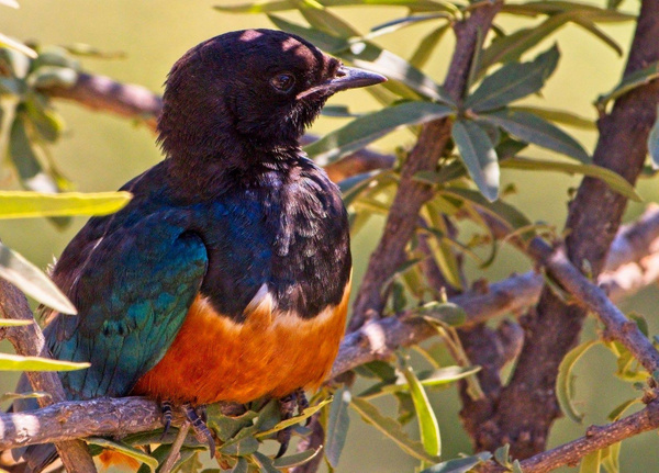 Superb Starling - Nature - Phil Mason Photography