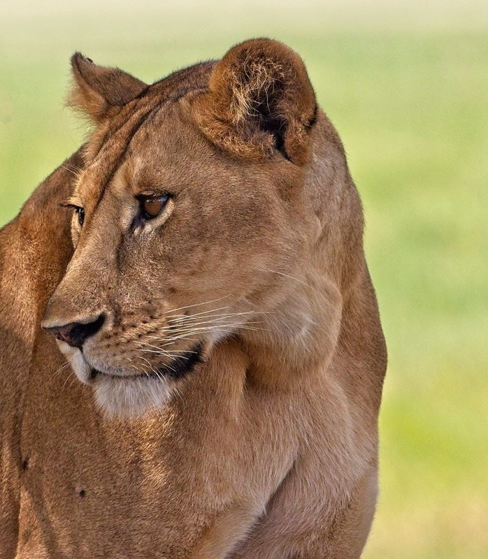 Young Lioness Watching