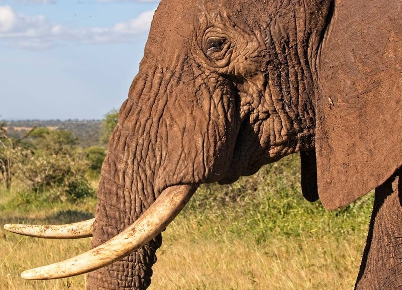 Bull Elephant Up  Close