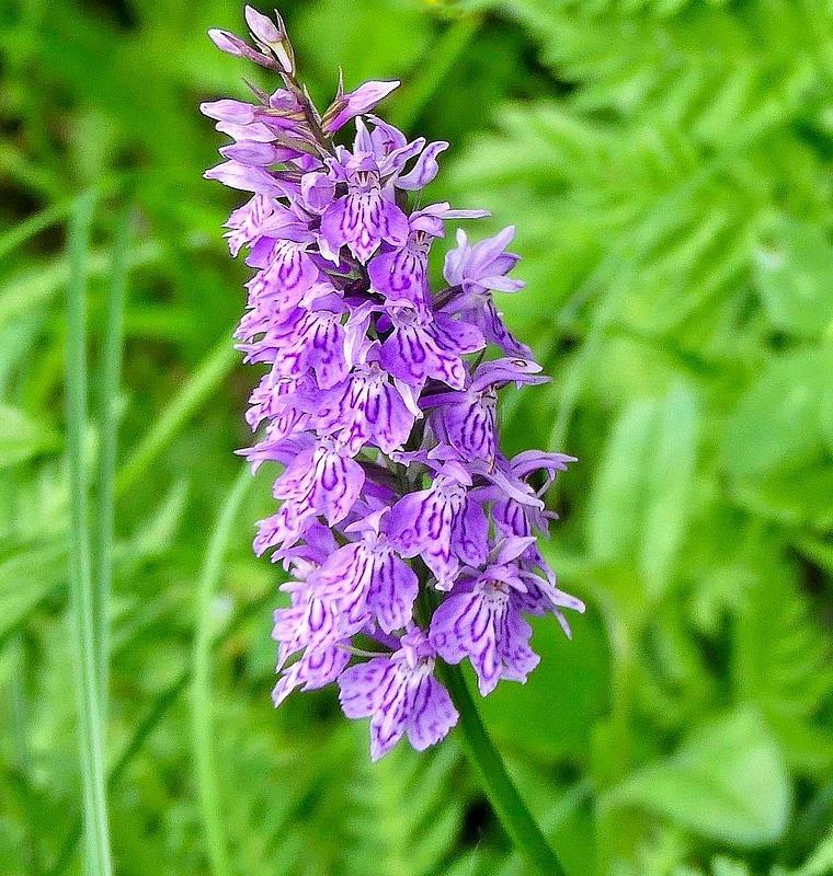 Swiss Alps Flower 3