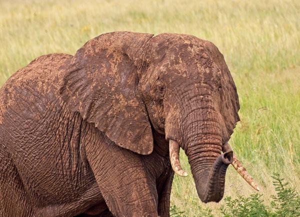 Young Elephant - Nature - Phil Mason Photography