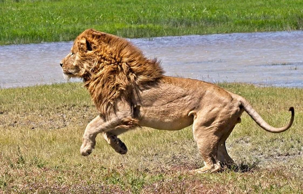 Lion Chasing Hyena - Nature - Phil Mason Photography
