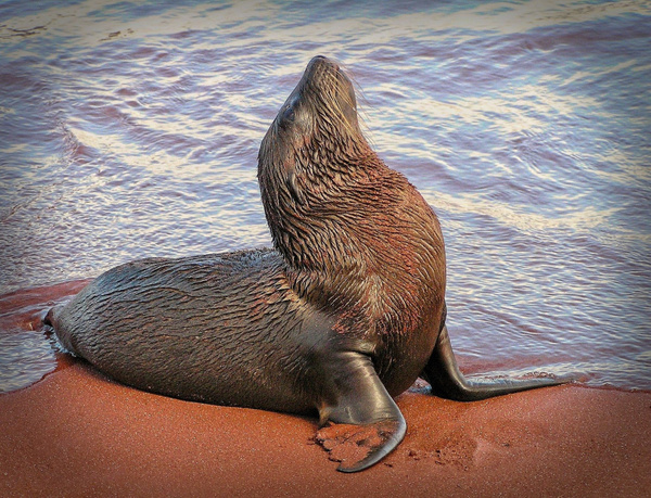 Young Galapagos Sea Lion by PhilMasonPhotography