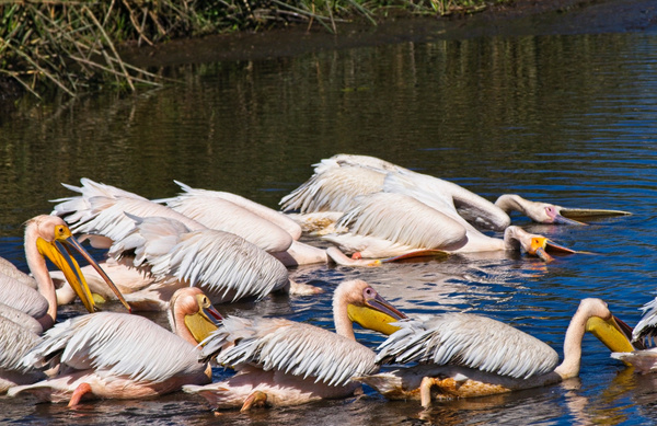 Great White Pelicans Fishing - Nature - Phil Mason Photography