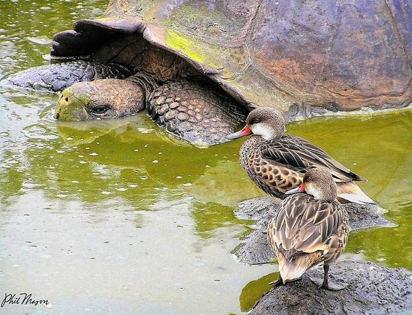 Galapagos Tortoise - Nature - Phil Mason Photography