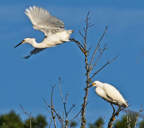 Snowy Egrets - Nature - Phil Mason Photography