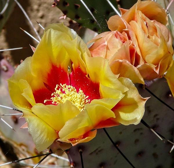 Wild Cactus Flower - Nature - Phil Mason Photography