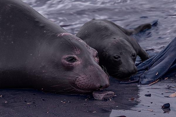 Ano Nuevo III-1317 Final - Elephant Seals of  Año Nuevo - Neil Sims Photography