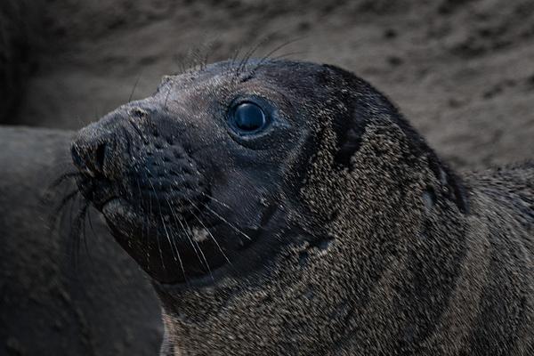 Ano Nuevo IX-1487 Final - Elephant Seals of  Año Nuevo - Neil Sims Photography