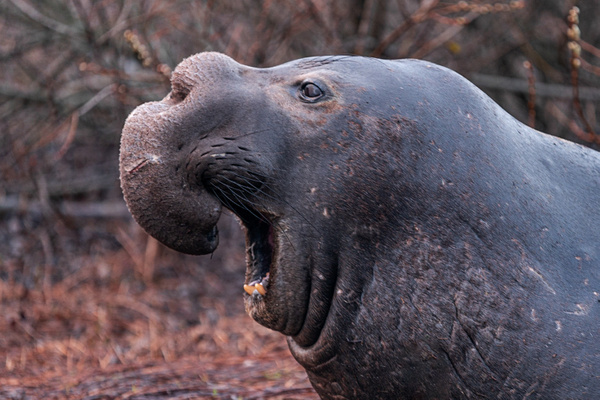 Ano Nuevo V-1396 Final - Elephant Seals of  Año Nuevo - Neil Sims Photography