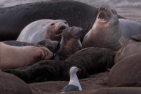 Ano Nuevo VIII-1456 - Elephant Seals of  Año Nuevo - Neil Sims Photography
