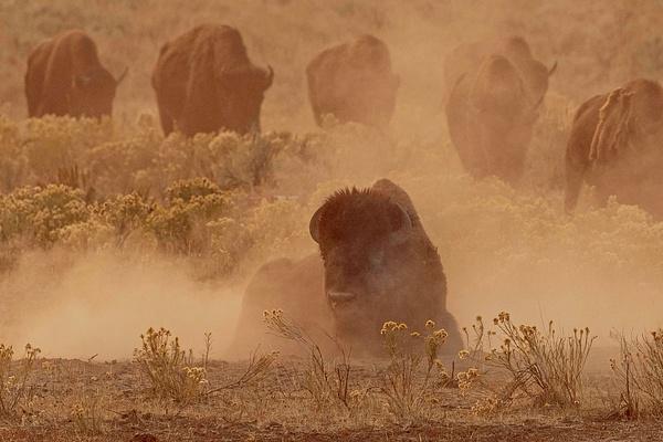 Yellowstone-3315 - Elephant Seals of  Año Nuevo - Neil Sims Photography