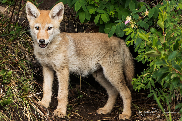 Coyote Kit_0R8A8009 - Coyotes - Walter Nussbaumer Photography