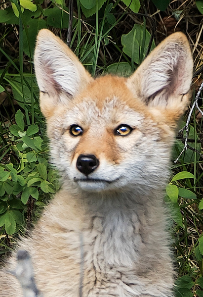Coyote Kit_0R8A8142 - Coyotes - Walter Nussbaumer Photography