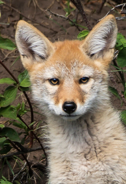 Coyote Kit_0R8A8154 - Coyotes - Walter Nussbaumer Photography