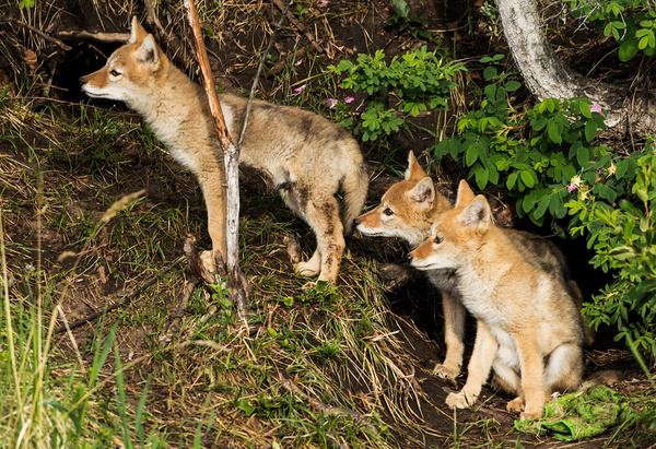 Coyote Kits_0R8A7935 - Coyotes - Walter Nussbaumer Photography