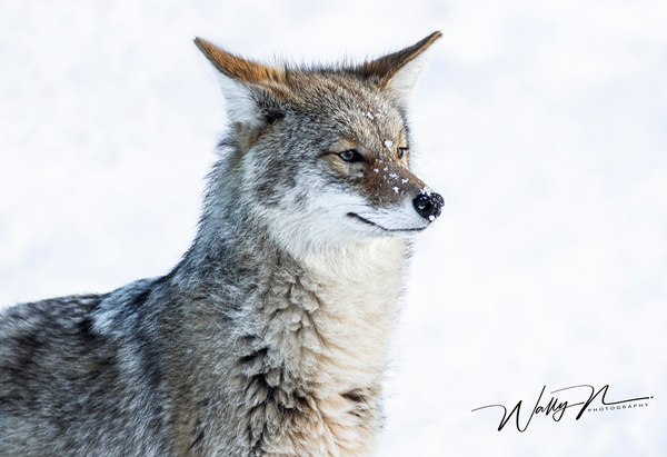 Coyote_R8A6699 - Coyotes - Walter Nussbaumer Photography