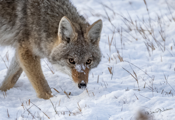Coyote_R8A9838 - Coyotes - Walter Nussbaumer Photography