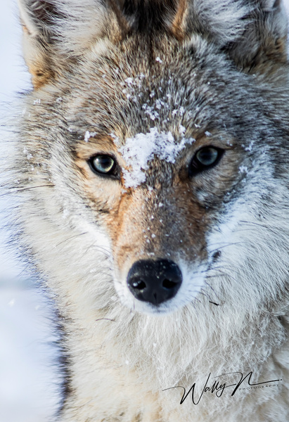 Coyote_R8A6683 - Coyotes - Walter Nussbaumer Photography