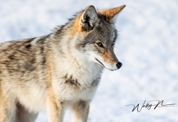 Coyote_R8A6615 - Coyotes - Walter Nussbaumer Photography