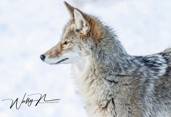 Coyote_R8A6640 - Coyotes - Walter Nussbaumer Photography