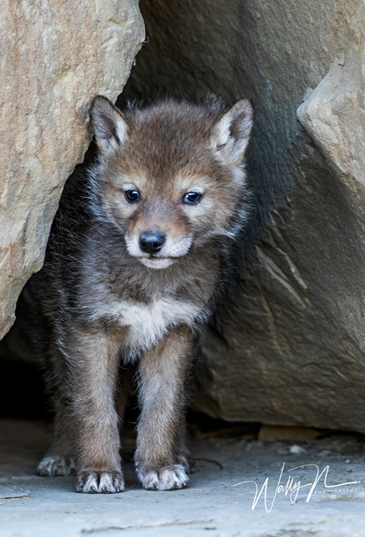 Coyote Kit_2019_R8A1551 - Coyotes - Walter Nussbaumer Photography