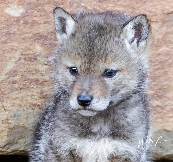 Coyote Kit_2019__R8A1376 - Coyotes - Walter Nussbaumer Photography