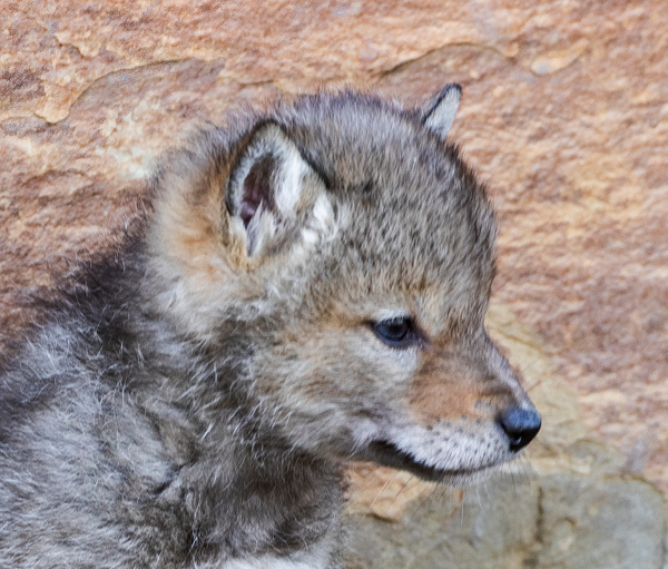 Coyote Kit_R8A1366 - Coyotes - Walter Nussbaumer Photography