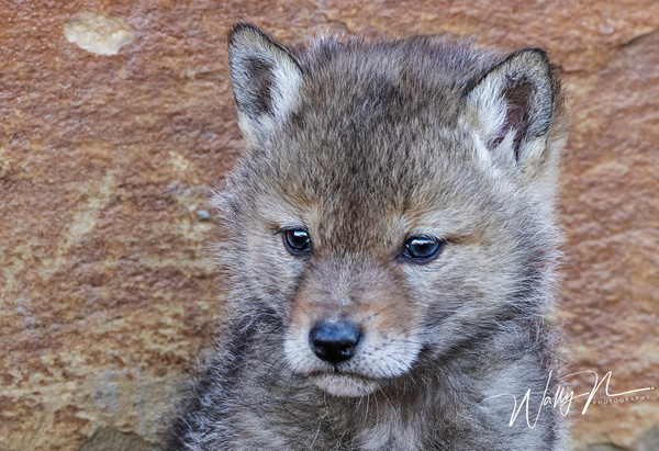 Coyote Kit_R8A1377 - Coyotes - Walter Nussbaumer Photography
